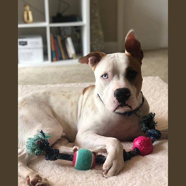 This sweetie is Denver, an male American Bull Dog Mix